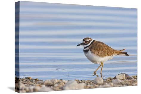 Wyoming, Sublette County, Killdeer Wading in Pond-Elizabeth Boehm-Stretched Canvas Print