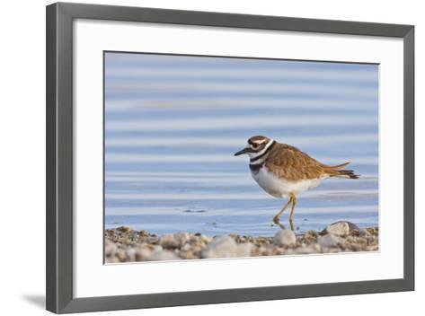 Wyoming, Sublette County, Killdeer Wading in Pond-Elizabeth Boehm-Framed Art Print