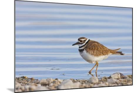 Wyoming, Sublette County, Killdeer Wading in Pond-Elizabeth Boehm-Mounted Photographic Print