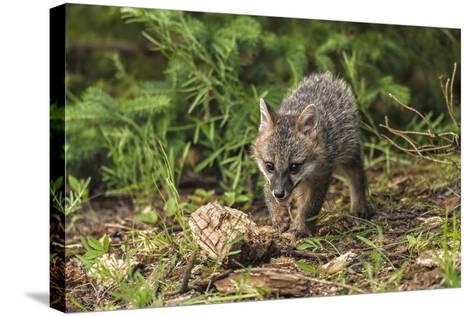 Minnesota, Sandstone, Minnesota Wildlife Connection. Grey Fox Kit-Rona Schwarz-Stretched Canvas Print