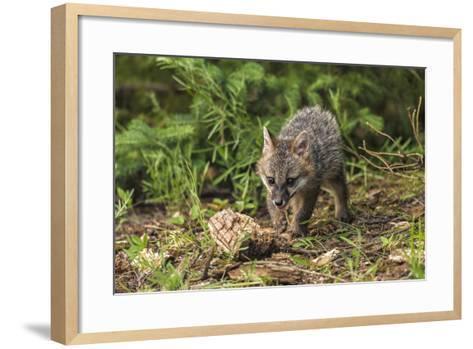 Minnesota, Sandstone, Minnesota Wildlife Connection. Grey Fox Kit-Rona Schwarz-Framed Art Print