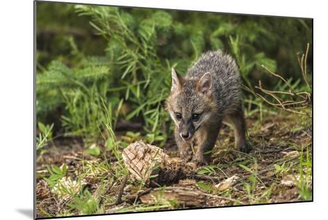 Minnesota, Sandstone, Minnesota Wildlife Connection. Grey Fox Kit-Rona Schwarz-Mounted Photographic Print