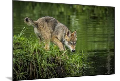 Minnesota, Sandstone, Minnesota Wildlife Connection. Grey Wolf Pup-Rona Schwarz-Mounted Photographic Print