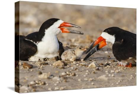 Port Isabel, Texas. Black Skimmer Adult Feeding Young-Larry Ditto-Stretched Canvas Print