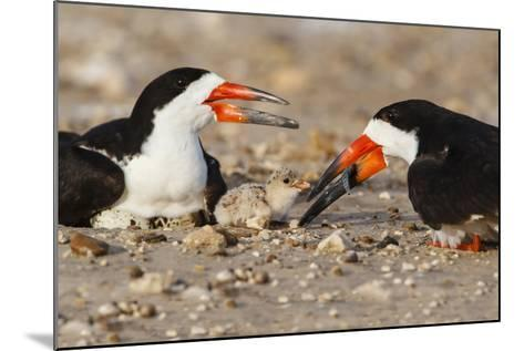 Port Isabel, Texas. Black Skimmer Adult Feeding Young-Larry Ditto-Mounted Photographic Print
