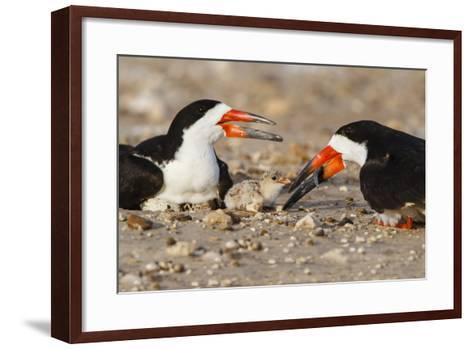 Port Isabel, Texas. Black Skimmer Adult Feeding Young-Larry Ditto-Framed Art Print