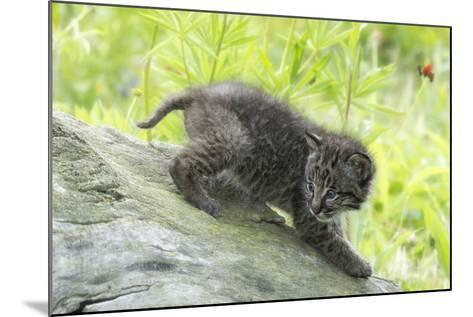 Minnesota, Sandstone, Bobcat Kitten on Top of Log in Spring Grasses-Rona Schwarz-Mounted Photographic Print