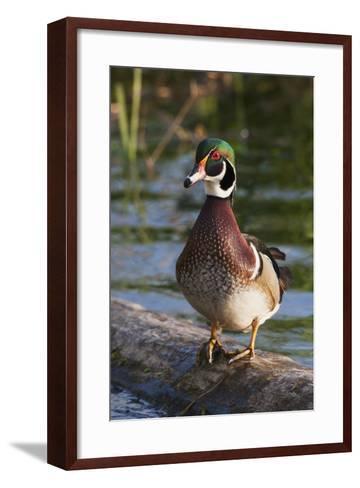 Wood Duck-Ken Archer-Framed Art Print