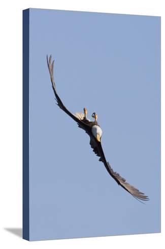 Bald Eagle in Flight, Upside Down-Ken Archer-Stretched Canvas Print