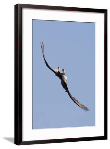 Bald Eagle in Flight, Upside Down-Ken Archer-Framed Art Print
