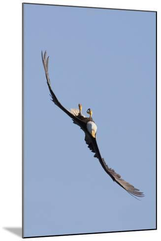Bald Eagle in Flight, Upside Down-Ken Archer-Mounted Photographic Print