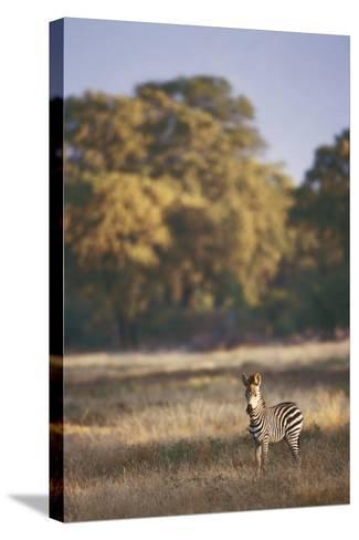 Zimbabwe, View of Burchells Zebra Linkwasha in Hwange National Park-Stuart Westmorland-Stretched Canvas Print