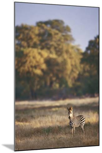 Zimbabwe, View of Burchells Zebra Linkwasha in Hwange National Park-Stuart Westmorland-Mounted Photographic Print