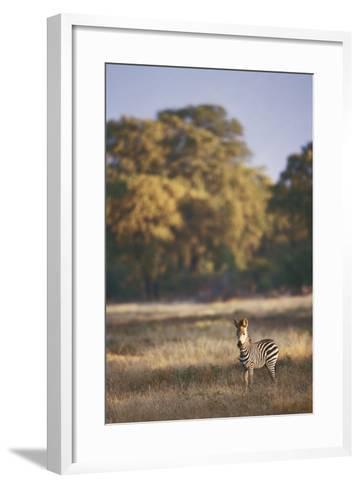 Zimbabwe, View of Burchells Zebra Linkwasha in Hwange National Park-Stuart Westmorland-Framed Art Print