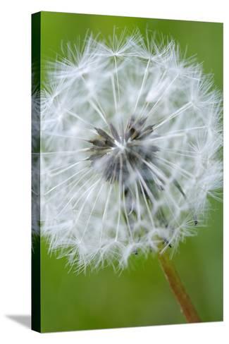 Canada, British Columbia, Vancouver Island. Dandelion-Kevin Oke-Stretched Canvas Print