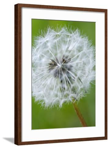 Canada, British Columbia, Vancouver Island. Dandelion-Kevin Oke-Framed Art Print