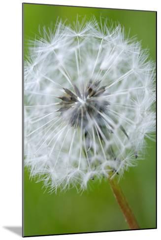 Canada, British Columbia, Vancouver Island. Dandelion-Kevin Oke-Mounted Photographic Print