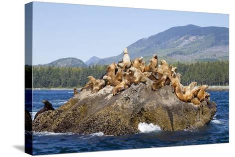 Canada, Pacific Rim National Park Reserve, West Coast Trail, Steller Sea Lions-Jamie And Judy Wild-Stretched Canvas Print