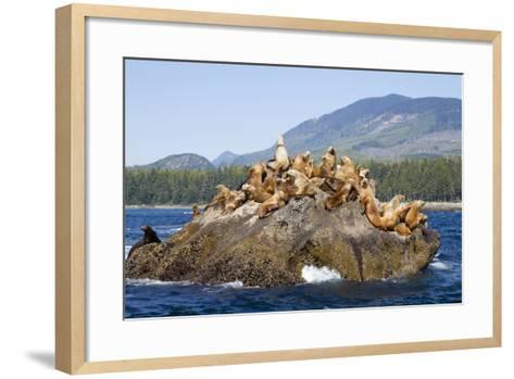 Canada, Pacific Rim National Park Reserve, West Coast Trail, Steller Sea Lions-Jamie And Judy Wild-Framed Art Print