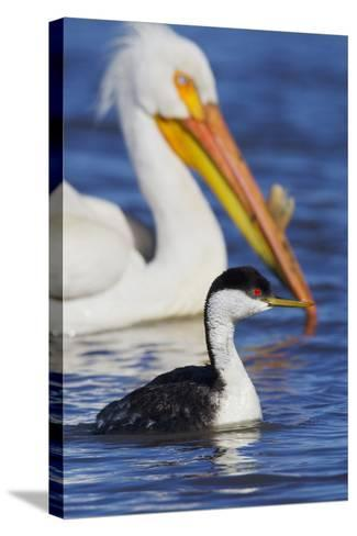 Western Grebe and American White Pelican-Ken Archer-Stretched Canvas Print