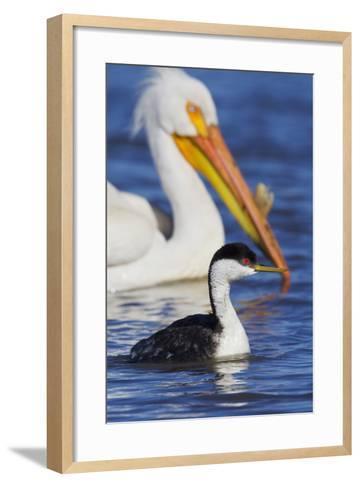 Western Grebe and American White Pelican-Ken Archer-Framed Art Print
