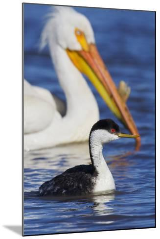 Western Grebe and American White Pelican-Ken Archer-Mounted Photographic Print