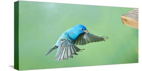 North America, Florida, Immokalee, Indigo Bunting, Flying to Feeder-Bernard Friel-Stretched Canvas Print