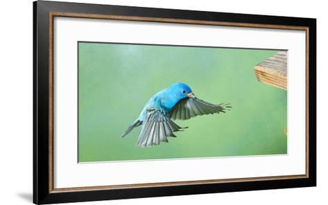 North America, Florida, Immokalee, Indigo Bunting, Flying to Feeder-Bernard Friel-Framed Art Print
