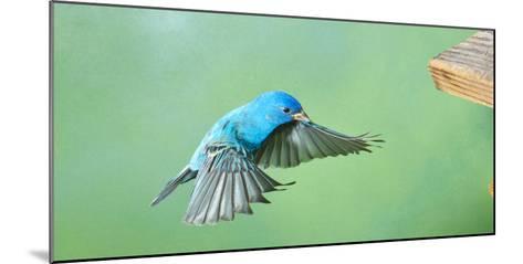 North America, Florida, Immokalee, Indigo Bunting, Flying to Feeder-Bernard Friel-Mounted Photographic Print