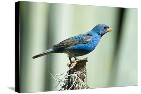 North America, USA, Florida, Immokalee, Indigo Bunting Perched on Snag-Bernard Friel-Stretched Canvas Print