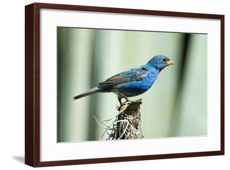 North America, USA, Florida, Immokalee, Indigo Bunting Perched on Snag-Bernard Friel-Framed Art Print
