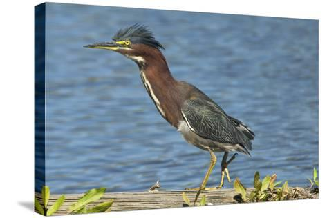 North America, USA, Florida, Pahokee, Green Heron, Walking on Log-Bernard Friel-Stretched Canvas Print