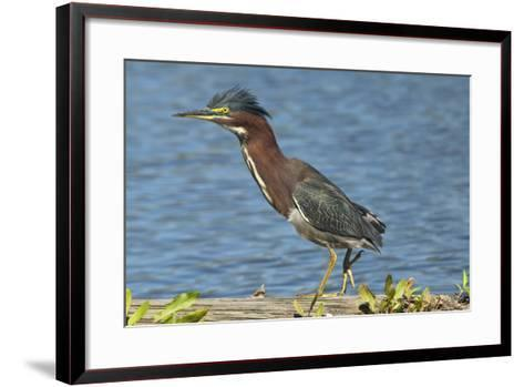 North America, USA, Florida, Pahokee, Green Heron, Walking on Log-Bernard Friel-Framed Art Print