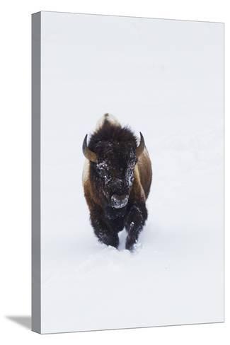 Bison Bull-Ken Archer-Stretched Canvas Print
