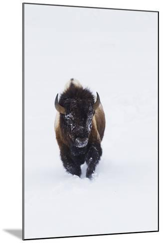 Bison Bull-Ken Archer-Mounted Photographic Print