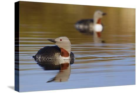Red Throated Loon Pair-Ken Archer-Stretched Canvas Print