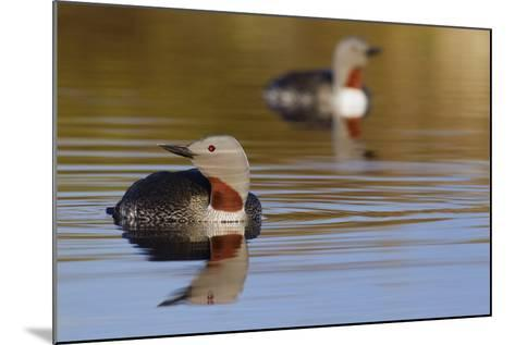 Red Throated Loon Pair-Ken Archer-Mounted Photographic Print