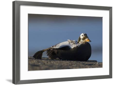 Spectacled Eider-Ken Archer-Framed Art Print