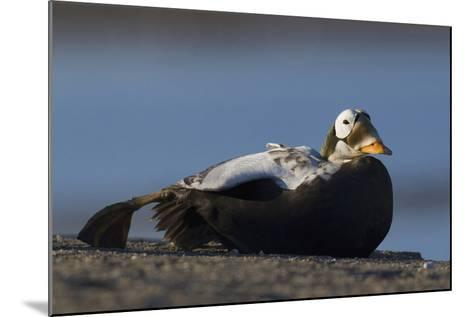 Spectacled Eider-Ken Archer-Mounted Photographic Print