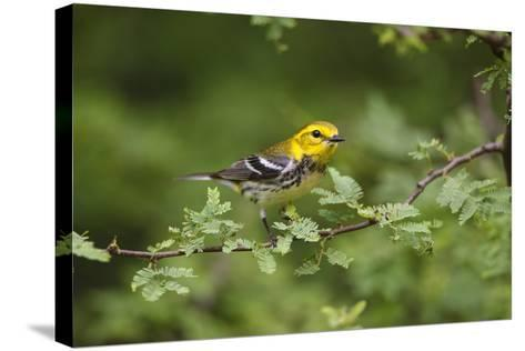 South Padre Island, Texas. Black Throated Green Warbler Feeding-Larry Ditto-Stretched Canvas Print