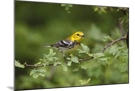 South Padre Island, Texas. Black Throated Green Warbler Feeding-Larry Ditto-Mounted Photographic Print
