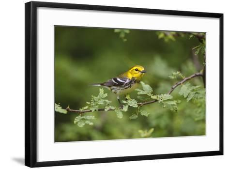 South Padre Island, Texas. Black Throated Green Warbler Feeding-Larry Ditto-Framed Art Print