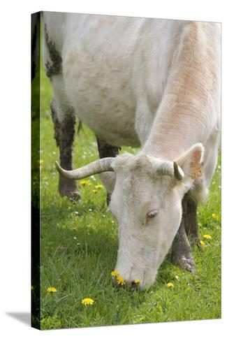 France, Burgundy, Nievre, Sardy Les Epiry. Cow Eating Grass-Kevin Oke-Stretched Canvas Print