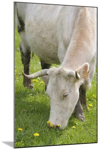 France, Burgundy, Nievre, Sardy Les Epiry. Cow Eating Grass-Kevin Oke-Mounted Photographic Print