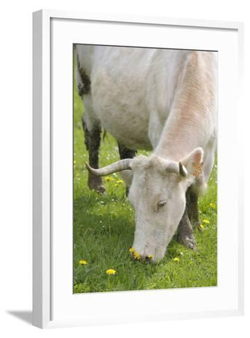 France, Burgundy, Nievre, Sardy Les Epiry. Cow Eating Grass-Kevin Oke-Framed Art Print