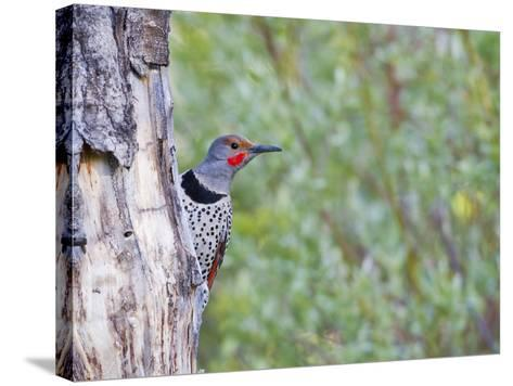 USA, Wyoming, Male Northern Flicker on Aspen Snag-Elizabeth Boehm-Stretched Canvas Print
