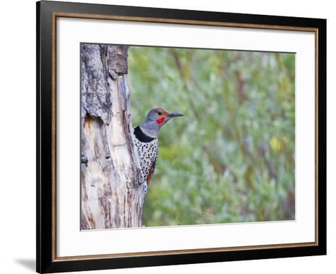 USA, Wyoming, Male Northern Flicker on Aspen Snag-Elizabeth Boehm-Framed Art Print