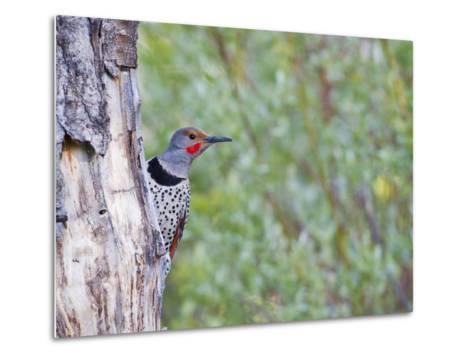 USA, Wyoming, Male Northern Flicker on Aspen Snag-Elizabeth Boehm-Metal Print