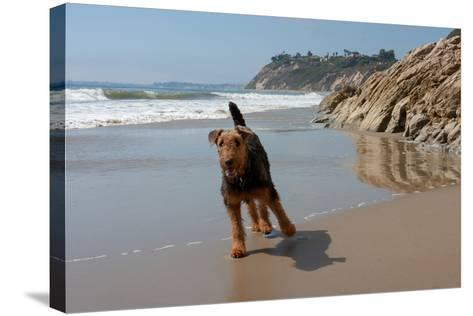 Airedale Playing on the Beach-Zandria Muench Beraldo-Stretched Canvas Print