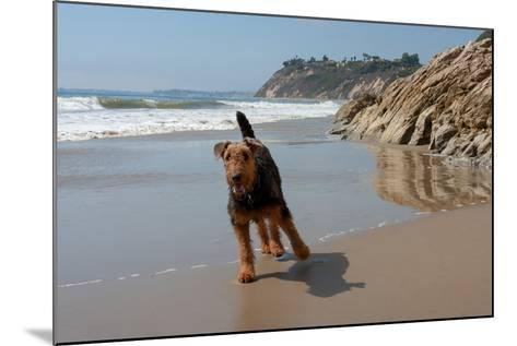 Airedale Playing on the Beach-Zandria Muench Beraldo-Mounted Photographic Print